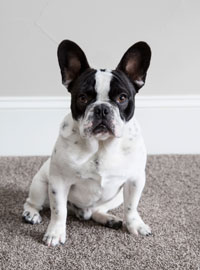 Winston NoCO Custom Homes dog